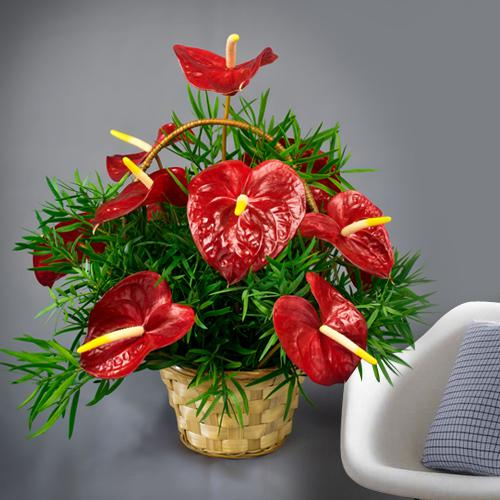 Lovely Red Anthurium in a Basket