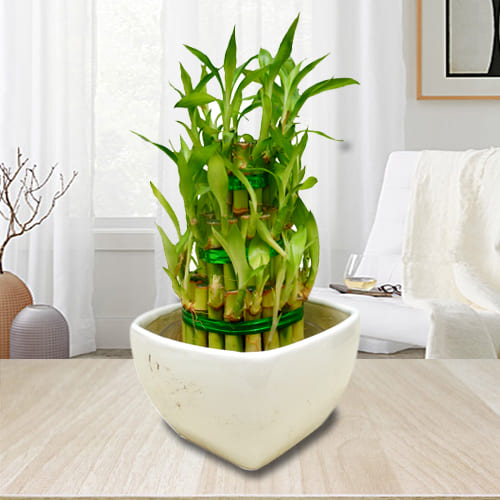 Divine Selection of 3 Tier Good Luck Bamboo Plant in Ceramic Pot