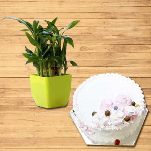 Eye-Catching Two Layer Lucky Bamboo Plant with Vanilla Cake