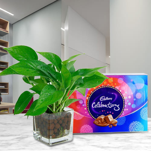 Graceful Gift of Money Plant in a Glass Vase with Cadbury Celebration Chocolates