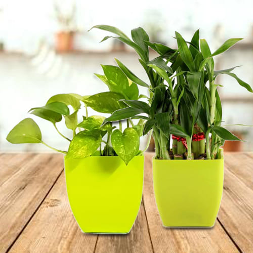 Beautiful Gift Set of 2 Good Luck Plants in Attractive Plastic Pots