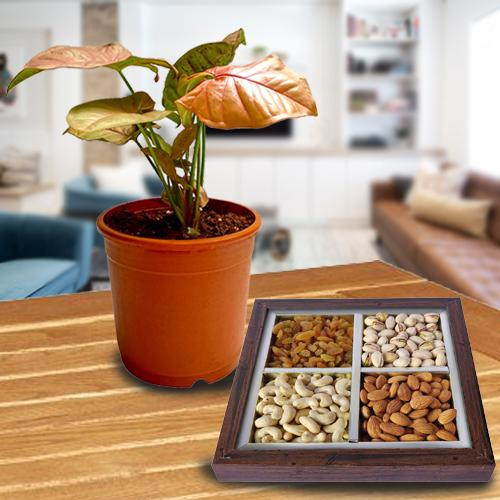 Fast-Growing Syngonium Plant with Assorted Dry Fruits