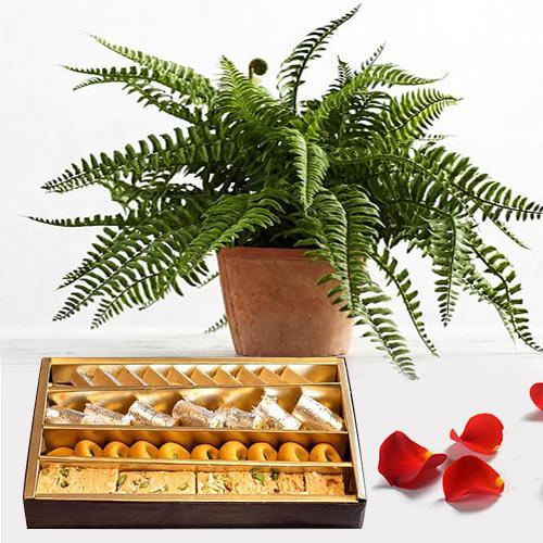 Special Gift of Air Purifying Boston Fern Pot N Sweets