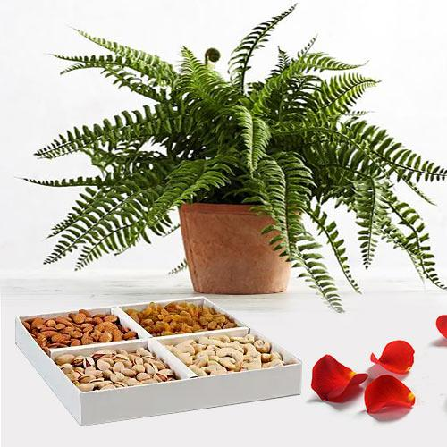 Evergreen Air Purifier Bostern Fern Plant with Mixed Dry Fruits